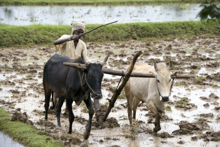 indian buffalo: Peasent subsitance farmer ploughing a paddy field in the Chettinad district of the Tamil Nadu region of southern India.