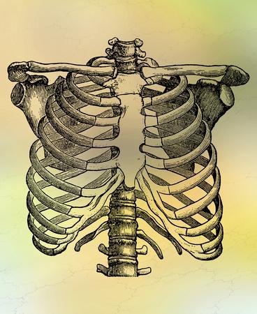 rib cage: Human Rib Cage
