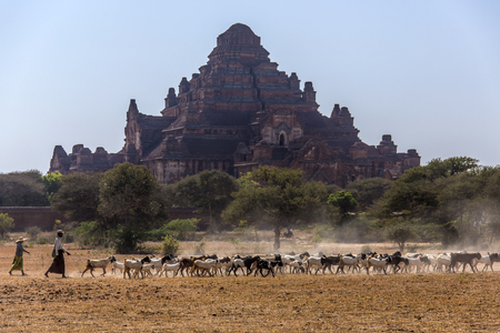 shephard: A shephard and his goat herd near the Dhammayangyi Temple in the ancient city of Bagan in Myanmar - Burma