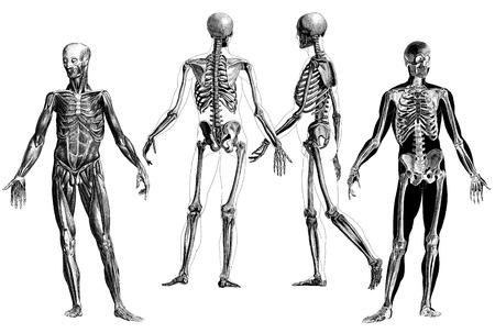 Medicina - Esquema Dibujos De Anatomía Victorianas Del Esqueleto ...