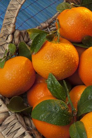 The Mandarin orange is the fruit of a small citrus tree  Citrus reticulata   Mandarin oranges are usually eaten plain or in fruit salads  Stock Photo - 27105175