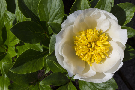 herbaceous: Paeonia lactiflora  Chinese peony  is a herbaceous
