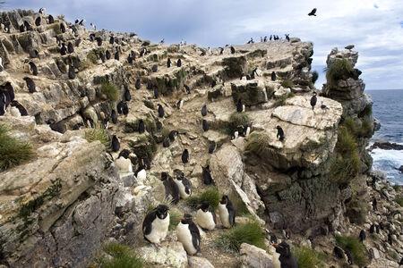 pinguinera: Rockhopper Ping�ino colonia Eudyptes Chrysocome en Pebble Island en West Falkland en Las Islas Malvinas A Buitre de Turqu�a Cathartes aura jota sobrevolaba la zona en busca de presas