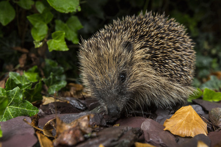 spiny: The Western Hedgehog - The only species of European hedgehog found in the British Isles  Erinaceus europaeus   A nocturnal insectivorous Old World mammal with a spiny coat and short legs, able to roll itself into a ball for defence