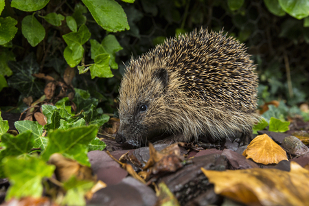 insectivorous: The Western Hedgehog - The only species of European hedgehog found in the British Isles  Erinaceus europaeus   A nocturnal insectivorous Old World mammal with a spiny coat and short legs, able to roll itself into a ball for defence