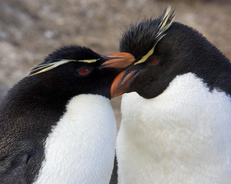 falkland: Rockhopper Penguins (Eudyptes Chrysocome) on Pebble Island in West Falkland in The Falkland Islands