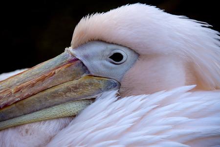 extensible: Pelican - un gran aves acu�ticas con un pico largo y una bolsa de garganta extensible para recogiendo peces. Onocrotalus del Pelecanus.