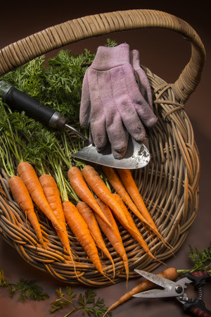 organically: Organically grown carrots collected from a garden vegetable patch.
