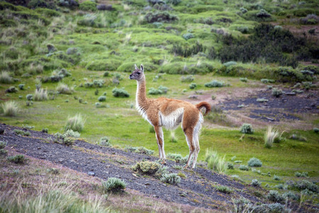 guanicoe: A Guanaco (Lama guanicoe) in Torres del Paine National Park in Patagonia in southern Chile.