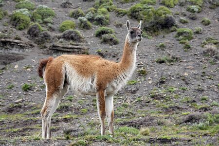 torres del paine: A Guanaco (Lama guanicoe) in Torres del Paine National Park in Patagonia in southern Chile.