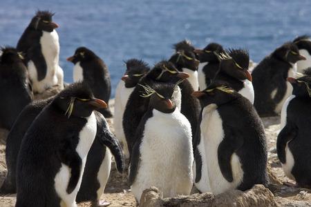 pinguinera: Ping�ino de Rockhopper colonia (Eudyptes Chrysocome) en Pebble Island en West Falkland en Las Islas Malvinas Foto de archivo