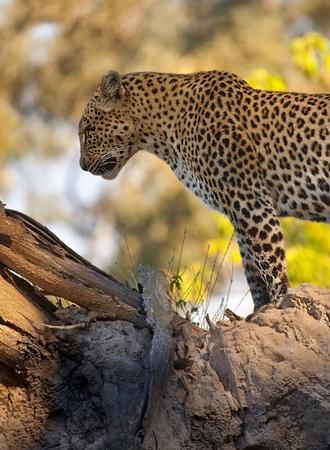 okavango delta: A Leopard Panthera pardus in the Okavango Delta in Botswana Stock Photo
