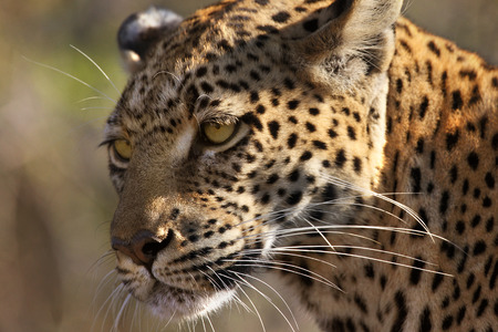 panthera pardus: An adult female Leopard Panthera pardus in the Savuti area of Botswana