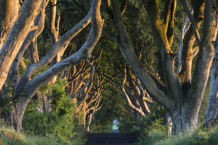 Early morning sunlight on the 'Dark Hedges' - an avenue of ancient trees in County Antrim in Northern Ireland. Standard-Bild
