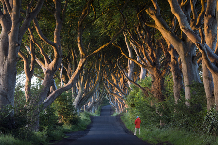 Early morning sunlight on the 'Dark Hedges' - an avenue of ancient trees in County Antrim in Northern Ireland. Stock Photo