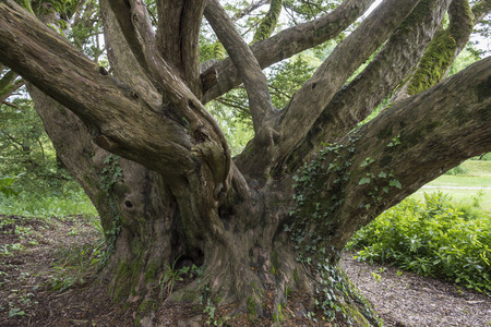 An ancient English Yew tree - Taxus Baccata in woodland in Ireland. All parts of a yew are toxic to humans, additionally, male and monoecious yews  release cytotoxic pollen.