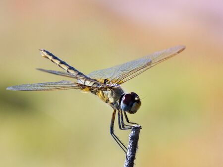 Darner Dragonfly (Family Aeschnidae) in the Okavango Delta in Botswana Stock Photo