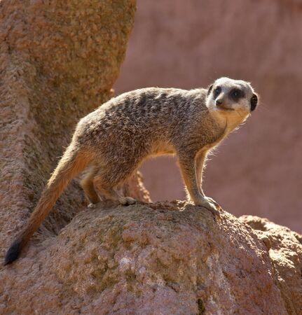 A male Meerkat (Suricata suricatta) in the Kalahari Desert in southern Botswana. Stock Photo