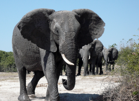A group of African Elephants (Loxodonta africana) in the Chobe River area of Botswana.