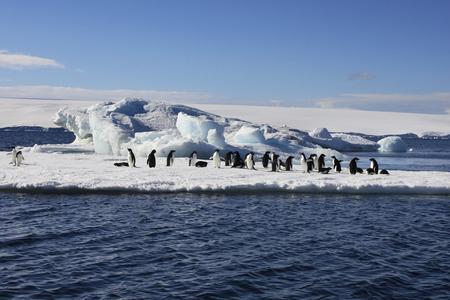 Adelie Penguins on sea ice near Danko Island in Antarctica