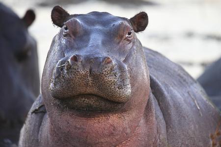 Un jeune hippopotame dans la rivière Chobe au Botswana Banque d'images - 92411314