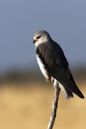 Black-shouldered Kite (Elanus caeruleus) in Etosha National Park in Namibia.