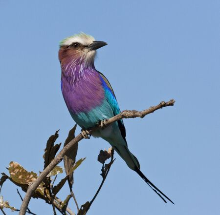 Lilac-breasted Roller (Coracias caudatus) in the Okavango Delta in Botswana