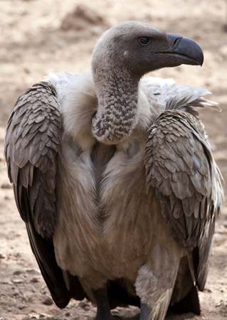 A White-backed Vulture (Gyps africanus) in northeast Zimbabwe.