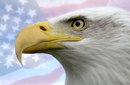 North American Bald Eagle - patriotic symbol of the United States of America Foto de archivo