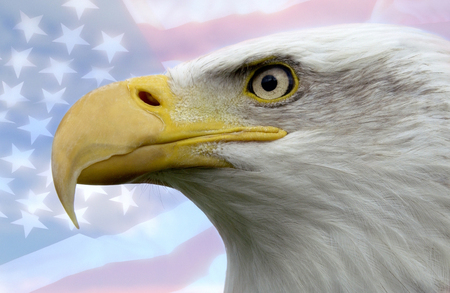 North American Bald Eagle - patriotic symbol of the United States of America Stock Photo