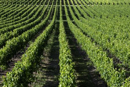 Production de vin - Rangées de vignes dans un vignoble de la région de la Dordogne en France