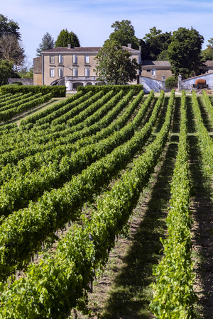 Wine Production - Rows of vines in a vineyard in the Dordogne region of France