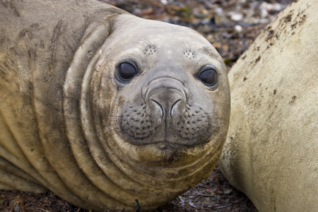 Young female Southern Elephant Seal ( Mirounga leonina) on Carcass Island in the Falkland Islands.