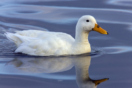 Pekin duck is a breed of domesticated duck used primarily for egg and meat production. It was bred from the Mallard in China.