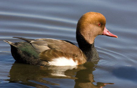 The Red-crested Pochard (Netta rufina) - a large diving duck. Their breeding habitat is lowland marshes and lakes in southern Europe and England and in southern and central Asia.