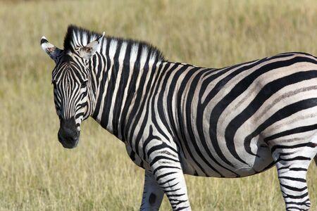 Un zèbre (Equus quagga) dans la région de la rivière Khwai au Botswana, en Afrique.
