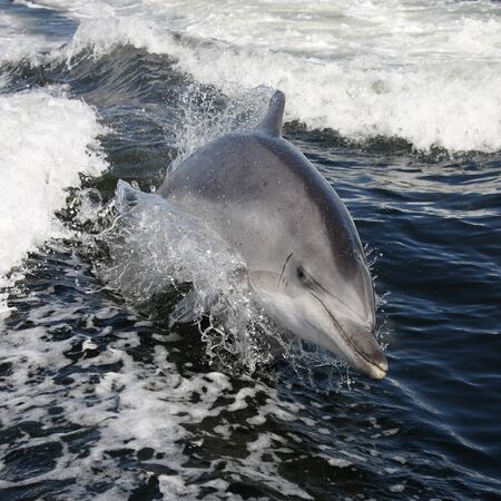 Bottle-nosed Dolphin (Tursiops aduncus) in Sandwich Bay in Namibia Stok Fotoğraf