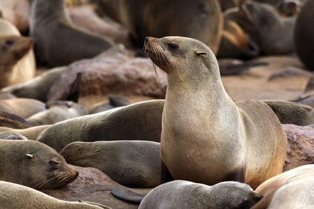 Cape Fur Seal in the seal colony at Cape Cross in Namibia, Africa. Stockfoto