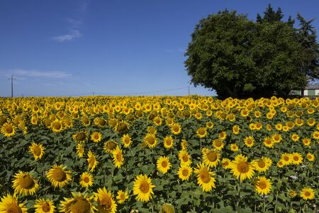 Field of sunflowers in the Dordogne region of France. Banque d'images