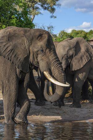 African Elephants (Loxodonta africana) at a waterhole in the Savuti region of Botswana, Africa.