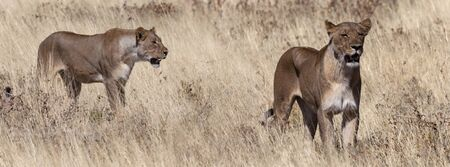 Two Lioness (Panthera leo) hunting in the grasslands of Etosha National Park in Namibia, Africa.