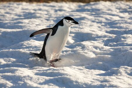 Chinstrap Penguin (Pygoscelis antarcticus) in the South Shetland Islands, Antarctica.