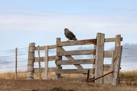 A Variable Hawk (Buteo polyosoma) on a gate on Carcass Island in the Falkland Islands (Islas Malvinas). Stock fotó