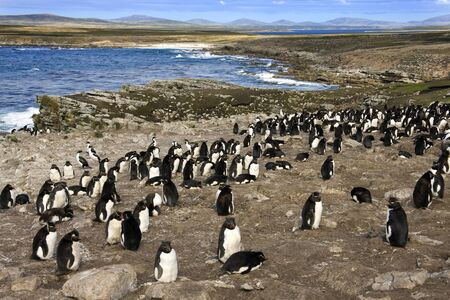 Rockhopper Penguin colony (Eudyptes Chrysocome) on Pebble Island in West Falkland in The Falkland Islands (Islas Malvinas). Stok Fotoğraf