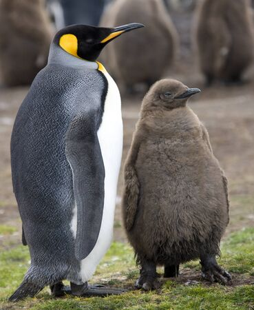 King Penguin and chick (Aptenodytes patagonicus) at Volunteer Point in the Falkland Islands (Islas Malvinas).