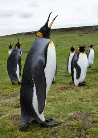 King Penguins (Aptenodytes patagonicus) at Volunteer Point in the Falkland Islands (Islas Malvinas). Stok Fotoğraf