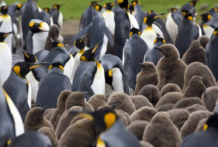 King Penguin colony (Aptenodytes patagonicus) at Volunteer Point on the island of East Falkland in the Falkland Islands (Islas Malvinas).