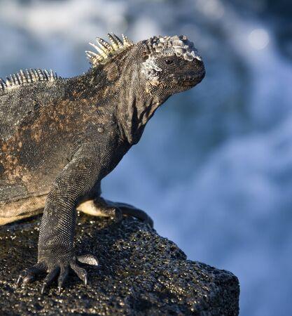 Marine Iguana (Amblyrynchus cristatus) - in James Bay on Santiago Island in the Galapagos Islands, Ecuador. Stock Photo