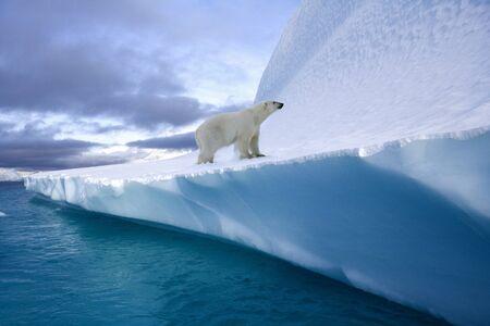 Ours polaire (Ursus maritimus) sur un iceberg dans le fjord du Nord-Ouest, dans l'est du Groenland.