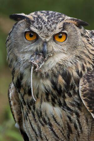 European Eagle Owl (Buba bubo) manger une souris des champs dans les Highlands écossais. Banque d'images